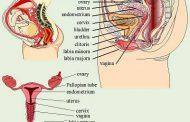 Genetalia Eksterna Wanita