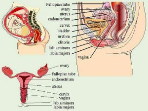 Genetalia Interna Wanita Anatomi Lusa