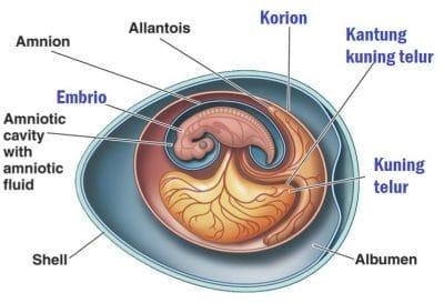 Korion dan Amnion